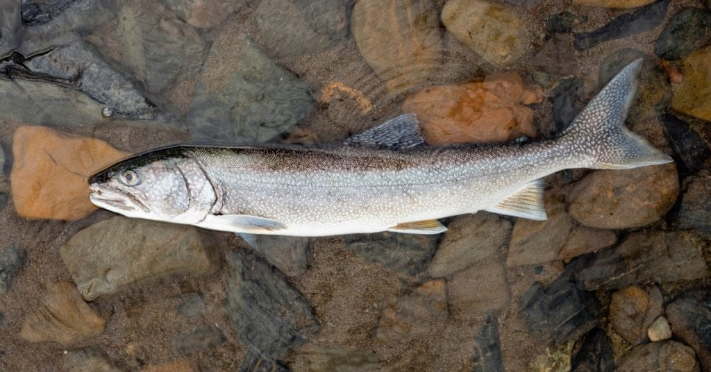 How to Fish for Lake Trout